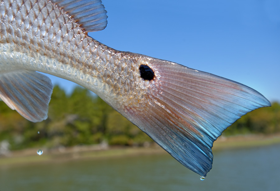 Drops of Water fall from the blue tail of a Redfish