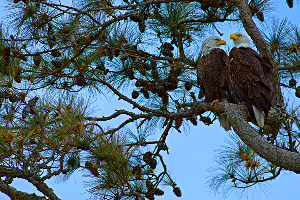 pair of eagles in pine tree over the river course, kiawah island