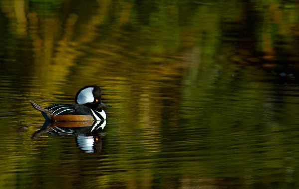 hooded merganser on turtle beach pond