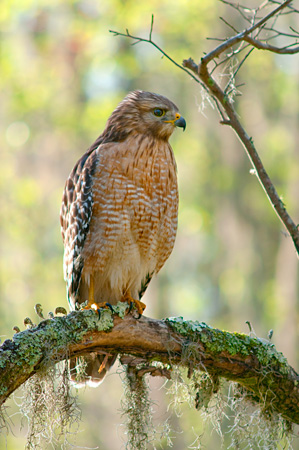 red shouldred hawk at Magnolia plantation swamp garden