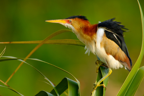 Least Bittern on palm