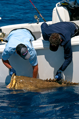 Captain Scott Walker and Captain Steve Rodger releasing a huge goliath grouper while shooting in the Gulf of Mexico out of Key West for Into The Blue TV