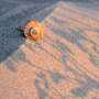Whelk shell on dunes at sunrise