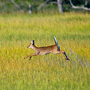 White Tailed Doe Leaping through the flooded marsh
