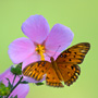 Butterfly on a pink flower on Kiawah Island