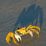 Ghost Crab at Beachwalker Park on Kiawah Island at Sunrise