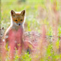 Red Fox pup taking a break from playing