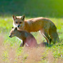 Red Fox Mother Watches Over Her Pup Near Their Den