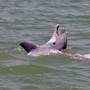 A smiling dolphin in the Stono River
