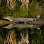 An Alligator on a log with a yellow rumped warbler on his tail
