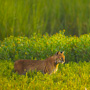A Bobcat hunting in the marsh on Eagle Point, Kiawah Island