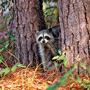 Raccoon peeking through two trees on Kiawah Island